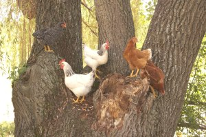Chickens in willow tree